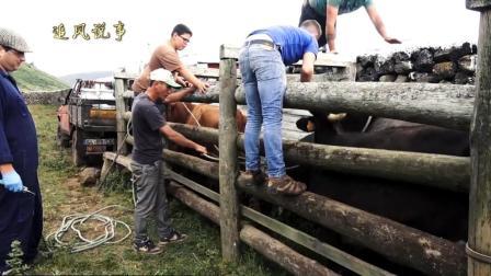 斗牛在养殖场里的生活是什么样的呢?一起来看看吧视频