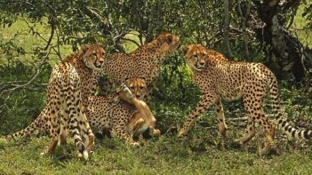 猎豹捕捉斑羚却不下杀手, 一遍又一遍的捉弄它!