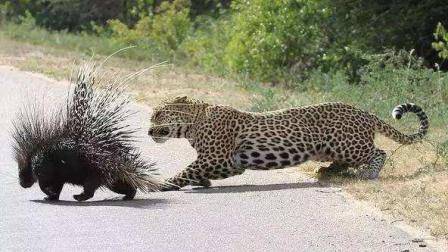 豹子被豪猪弄得嘴巴全是刺, 结局很凄凉