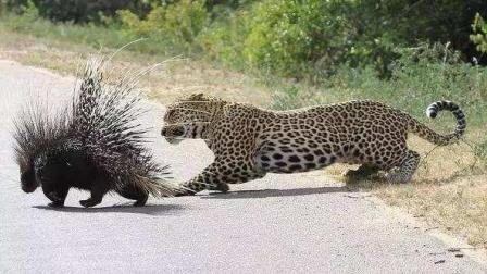 豹子被狮子追到了树上, 不料却遭埋伏!
