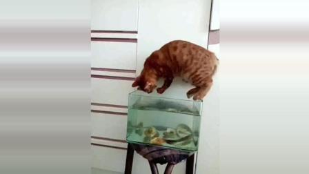 搞笑动物  真是小馋猫, 竟敢在鱼缸里抓鱼, 看主