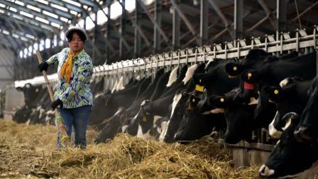 农村养殖奶牛,初生犊牛及泌乳期饲养管理视频