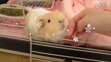荷兰猪小可爱【生活篇】
