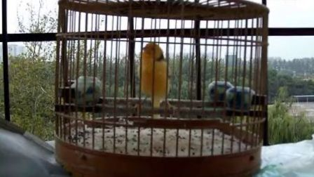晨光衣阁-玉鸟优美叫声