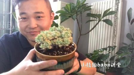 在休眠季节给景天科多肉植物换盆,这样才是最安全的视频