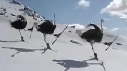 搞笑动物: 给鸵鸟俩板子, 人家都比你滑的好