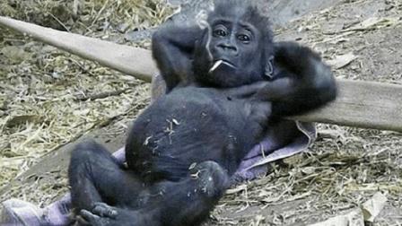 动物园看到一只成精的猩猩, 这智商没谁了, 看的我哭笑不得!