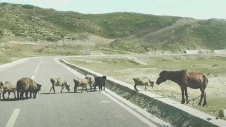 这是一匹会数数的牧羊马