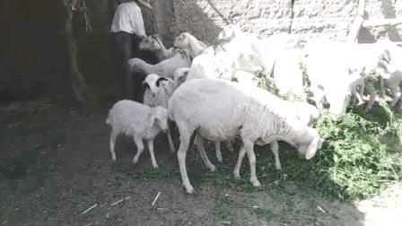 为什么西北牛羊肉这么好吃,走进大西北农村,看看他们喂养的什么饲料视频