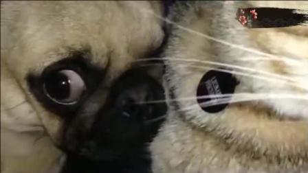 猫老大一只爪子按在八哥犬大腿上, 八哥犬一脸惊
