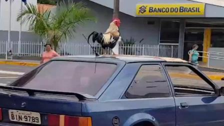 歪果仁真会玩, 带一只公鸡出去兜风, 这回头率一