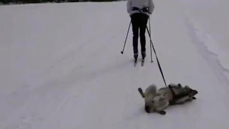 二哈: 让我当雪橇犬? 想激活我体内拉雪橇之力
