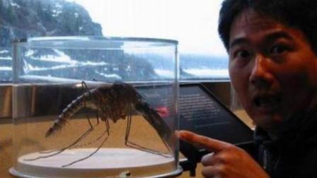 世界上最大的蚊子: 不吸血专吃蚊子, 堪称蚊子杀手!