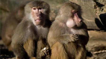 不寻常的组合, 雌狒狒强抢小黄狗, 使其加入狒狒