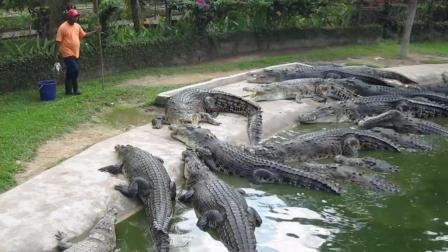 国外饲养员喂鳄鱼, 这场面看着挺吓人的!