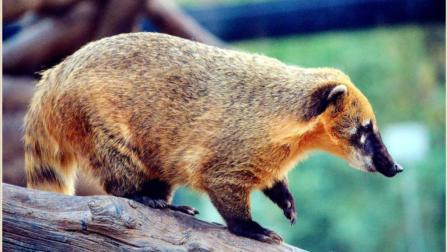 长鼻浣熊刚躲过毒蛇的攻击, 又来一头美洲豹, 危机重重?