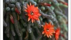 仙人掌科多肉植物,鼠尾掌的养护要点及繁殖方式介绍视频