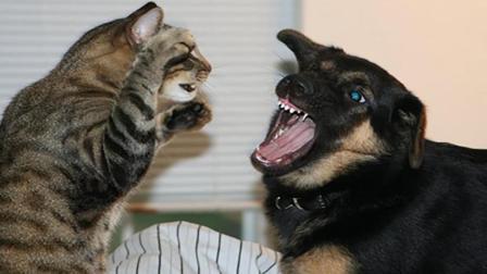 猫狗大战为什么狗先怂? 难道狗子是虚胖? 狗子: 还不是给你面子