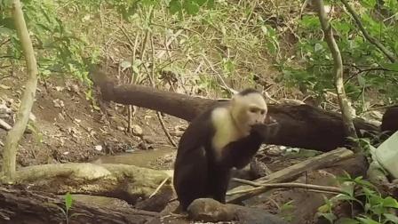 难道马卷尾猴已进入石器时代?竟然知道用石头磕开有壳食物