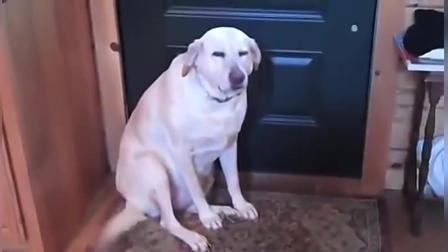哈士奇搞笑视频 狗狗做错事痛心疾首悔不当初