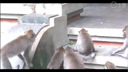 猴子大战剧毒眼镜王蛇, 绝对难得一见的疯狂激烈