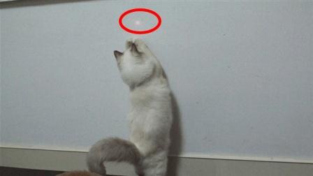 为什么猫咪看到激光点就疯狂追逐? 是猫咪的好奇