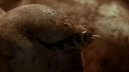 实拍巨蜥幼崽破壳而出的画面,你别说,小蜥蜴