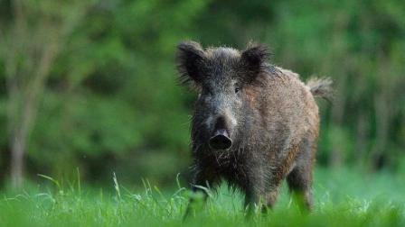 弓箭狩猎野猪  一箭猎杀一头野猪收获丰盛
