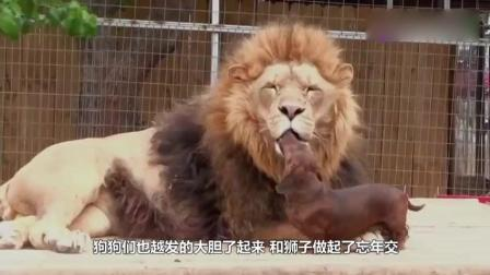饲养员将两只小奶狗放进狮笼, 让人意想不到的画