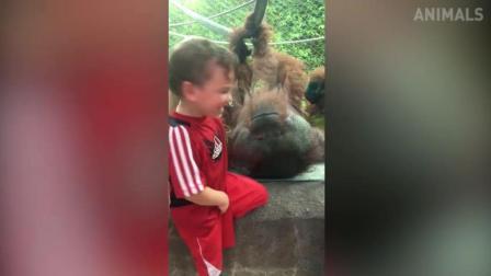 搞笑动物: 萌宝隔着玻璃亲吻大猩猩, 猩猩给回应