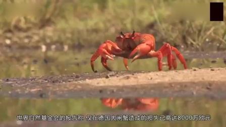德国大闸蟹泛滥, 为何宁可损失6.18个亿, 也无人愿