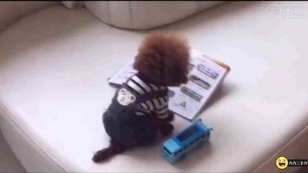 搞笑动物  汪星人泰迪狗假装看书, 假正经的姿势