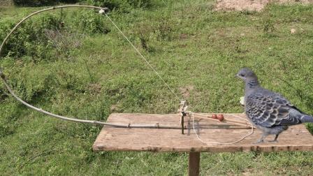 乡村牛人野外捕鸟, 利用简易设备做了捕鸟装置
