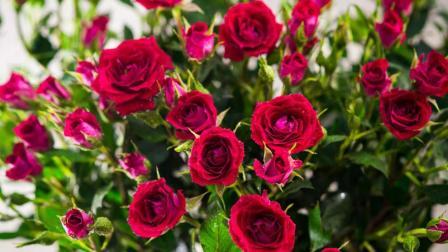 v教程小教程,种植用土豆揭秘玫瑰花月季花国外技巧数学图片