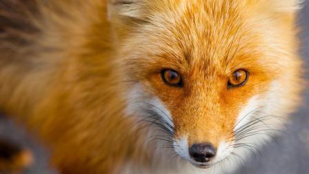 这只在北极混的狐狸叫大款