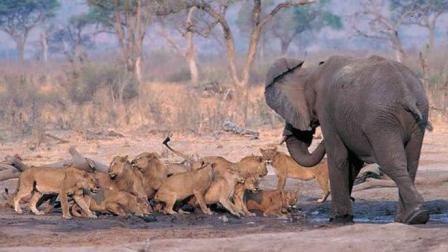 多少只狮子能破开大象防御? 镜头拍下大象强悍一幕, 防御高还聪明