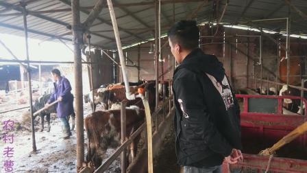 农村大型养殖牛场,到底挣钱不挣钱?看看大哥咋说的视频