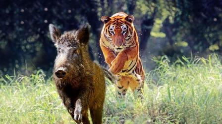 老虎被称森林之王绝非浪得虚名, 就算对手是野猪, 也跟家猪无差别