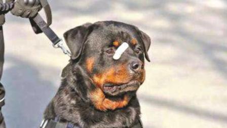 警犬巴法罗受伤贴创可贴萌翻网友