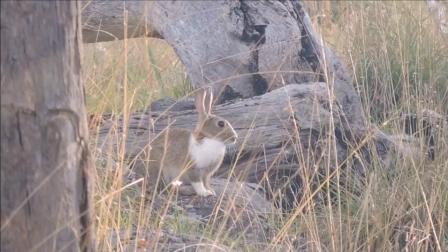 男子用弓箭狩猎野兔  箭法神准  这收获够吃好几顿了!