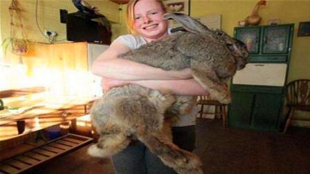 兔子界的最强吃货, 体长超一米, 体重上百斤, 这是兔界姚明吗?