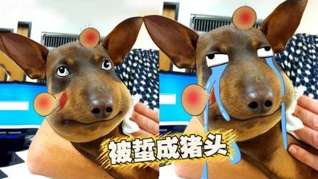 悲催狗子被蜜蜂蜇成猪头! 主人忍不住笑了!