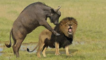 这是我见过最牛的野牛, 面对三只狮子的围猎, 直接强悍反击!