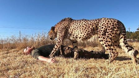 男子装死测试豹子的反应, 结果让人想不到, 网友: 这玩的有点大!