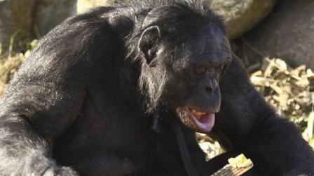成精了! 这只大猩猩5岁开始学做饭, 至今做饭长达20年