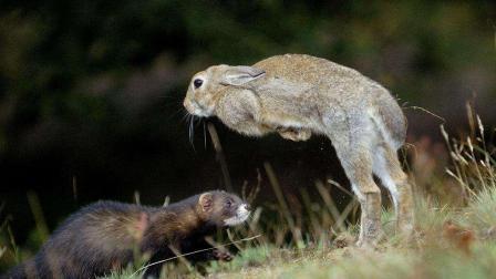 黄鼠狼实力有多强? 体型大它好几倍的兔子被制服, 镜头拍下全过程