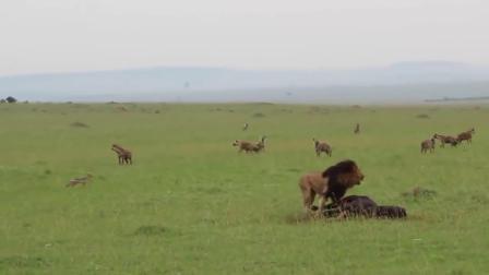 鬣狗和狮子抢夺猎物, 下一秒雄狮强势登场, 雄狮: 我要吃独食!