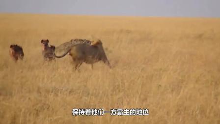 狮子有多强大 直接进洞捕杀鬣狗幼崽! 鬣狗父母根本不敢靠近!