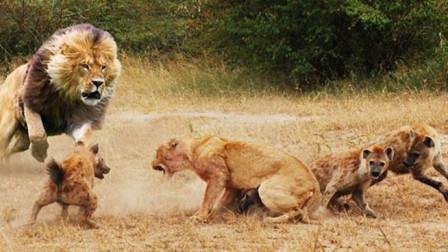 鬣狗疯抢母狮的食物, 关键时刻狮王强势登场, 狮王: 老婆别怕!