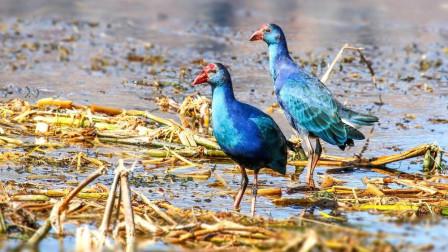 世界上仅剩的两百多只的巨水鸡, 被国宝都珍贵